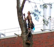 Bill Schiller, arborist for Tree Medics, removes a termite-infested oak tree from the Peace Quad during the summer.