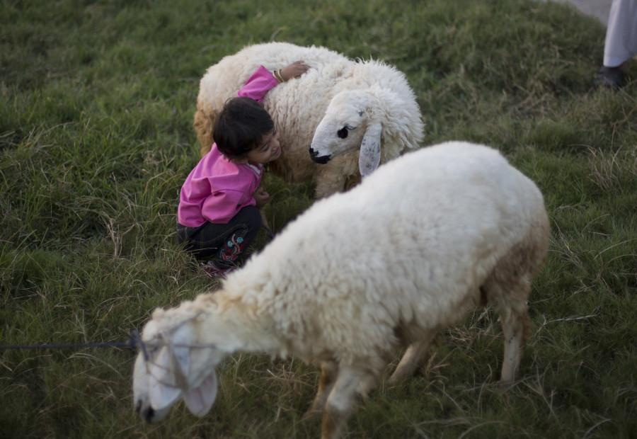 A Pakistani child plays with a sheep bought to be sacrificed on the upcoming Muslims festival Eid-al-Adha, Tuesday, Sept. 15, 2015 in Islamabad, Pakistan. Muslims all over the world celebrate the three-day festival Eid-al-Adha, by sacrificing sheep, goats, and cows to commemorate the willingness of the Prophet Ibrahim (Abraham to Christians and Jews) to sacrifice his son, Ismail, on Gods command. (AP Photo/B.K. Bangash)
