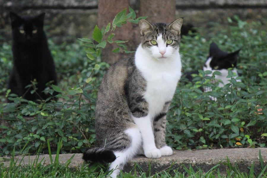 Three feral cats roam in front of Percival Stern Hall at Tulane University. The cat population has slowly declined in the Uptown area due to neuter programs. Photo credit: Kristen Stewart