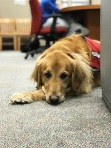 Beau is Loyola's resident service dog. He stays on campus in the honors office. Henry Bean/The Maroon Photo credit: Henry Bean