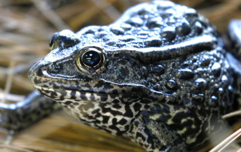 Dusky Gopher Frogs find no love in the Supreme Court