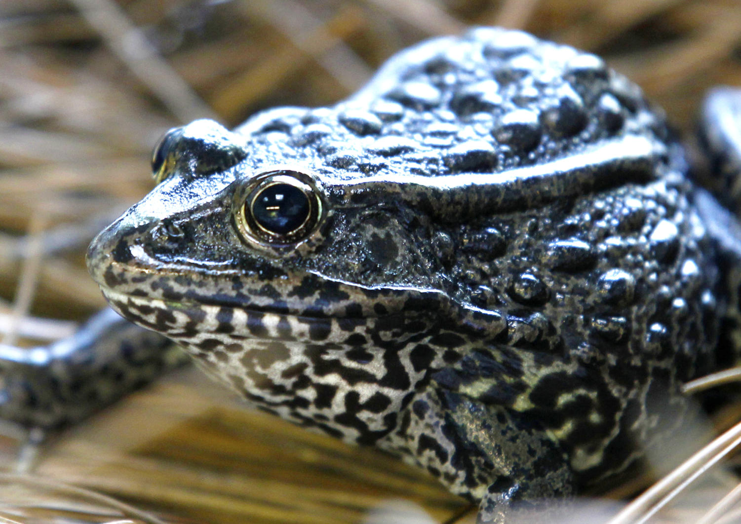 """FILE - This Sept. 27, 2011, file photo shows a gopher frog at the Audubon Zoo in New Orleans. The U.S. Supreme Court said Tuesday, Nov. 27, 2018 that a Louisiana-based federal appeals court must take another look at a federal agency's designation of a tract of Louisiana timberland as """"critical habitat"""" for gopher frogs, endangered frogs currently found only in Mississippi. (AP Photo/Gerald Herbert, File)"""