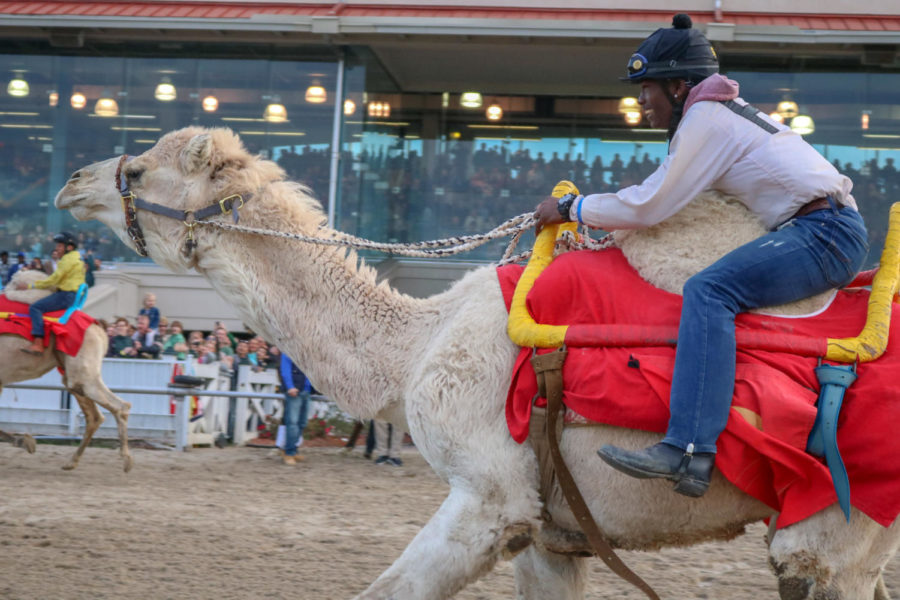 Jockey Tavis Smith competes in the camel race atop MikeMikeMikeWhatDayIsIt. The race at the Fair Grounds Race Course and Slots was one of three exotic animal races alongside 9 thoroughbred races.
