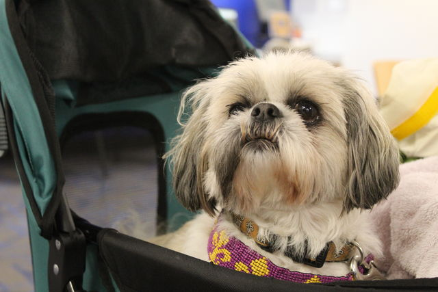 An elderly Shih Tzu sits in her stroller during a visit to Loyola as part of Wolf Pack Wednesdays partnership with the Visiting Pet Program.