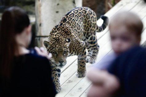 Audubon welcomes Valerio back into Jaguar Jungle