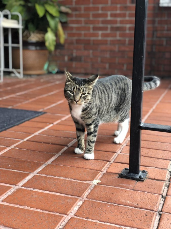 Popcorn%2C+or+Poppy%2C+is+a+one-and-a-half-year-old+gray+tabby+who+has+become+infamous+at+the+Prytania+Theatre.+When+she+went+missing+in+late+January%2C++Poppy+grabbed+the+attention+of+New+Orleans+Uptown.+Photo+Courtesy+of+Paige+Brunet.