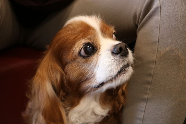 Louis, the King Charles Cavalier.