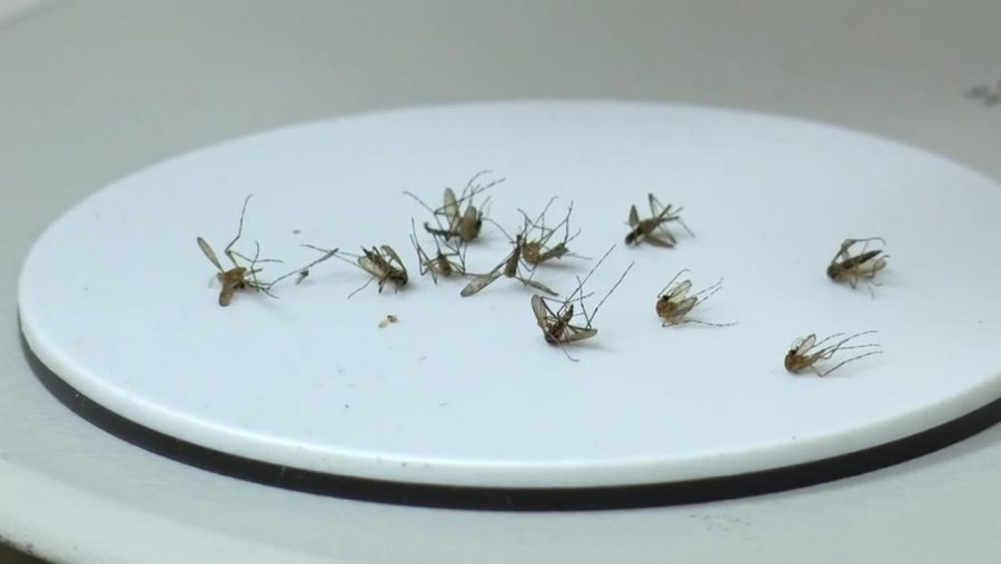 Dead mosquitoes are examined in a lab. Mosquitoes carry the West Nile Virus. Photo credit: Amy Ngo