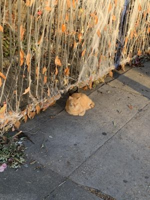 A cat chills out on a sidewalk on Maple Street on Nov. 2. Photo credit: Gracie Wise